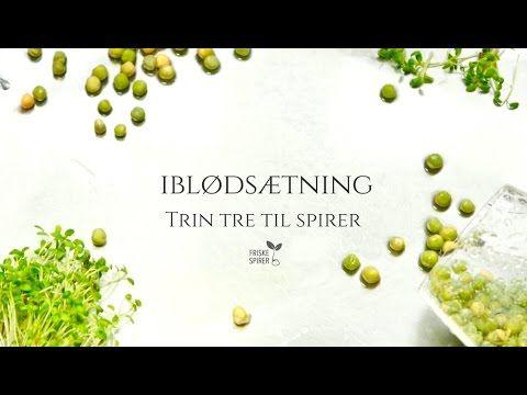 Trin 4 i spireguiden - Iblødsætning af spirefrø giver dine spirer en god start. Gratis guide på https://spirefroe.dk/hvordan God spirelyst #spirer #spiredyrkning #sprouts #sprouting #iblødsætning #lægspirefrøiblød #spirefrøivand #spiredyrkning #dyrkselvspirer #friskespirer #miriamsommer #økologiskespirer