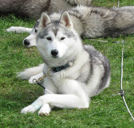 10 Reasons Why The Siberian Husky Is An Amazing Breed Husky