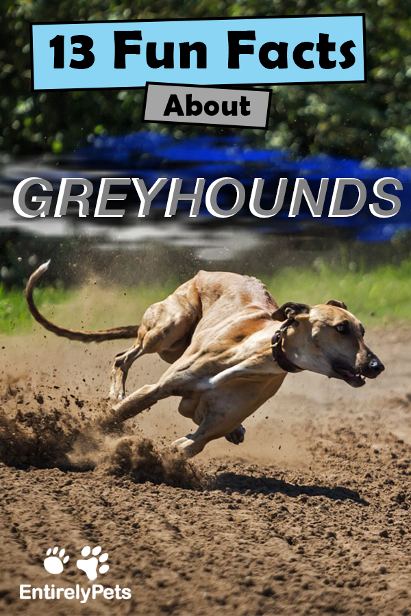 13 Fun Facts About Greyhounds