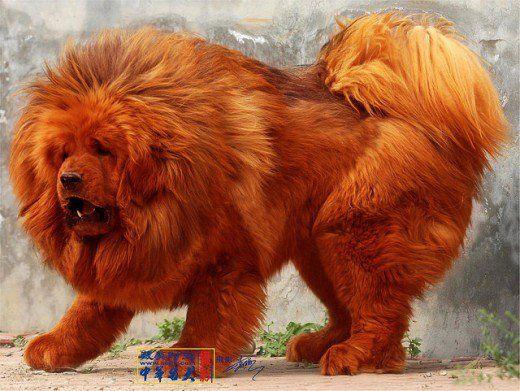 Costliest Dog Breed