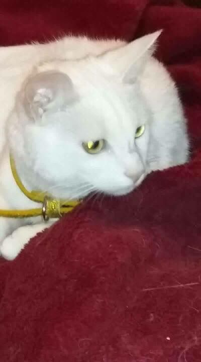 Bella White Cat Westmuir St Glasgow G31 Cats Found Cat Cat Uk
