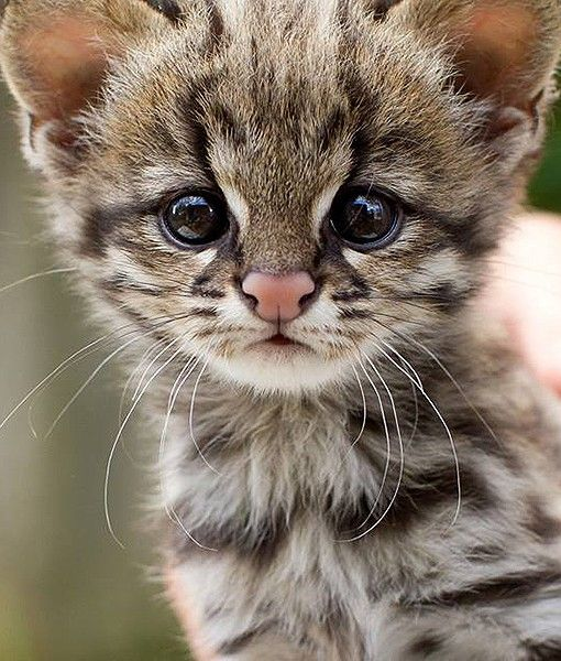 At The Sao Paulo Zoo In Brazil A Male Baby Oncilla Named Poli Was Bottle Fed By Zoo Staff After Being Rejected By Its M Cute Animals Cute Baby Animals Animals