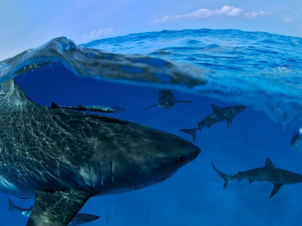 Sharks, Bahamas