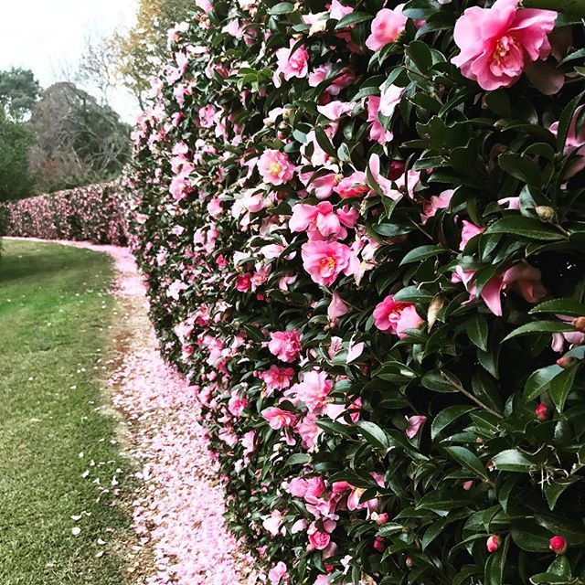 Camellias Growing En Masse At A Neighbouring Property This Afternoon We Love The Cloud Of Pink Flowers A Garden Hedges Evergreen Hedge Small Garden Landscape