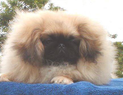 hahahahahah. How is this even a dog. Pekingese