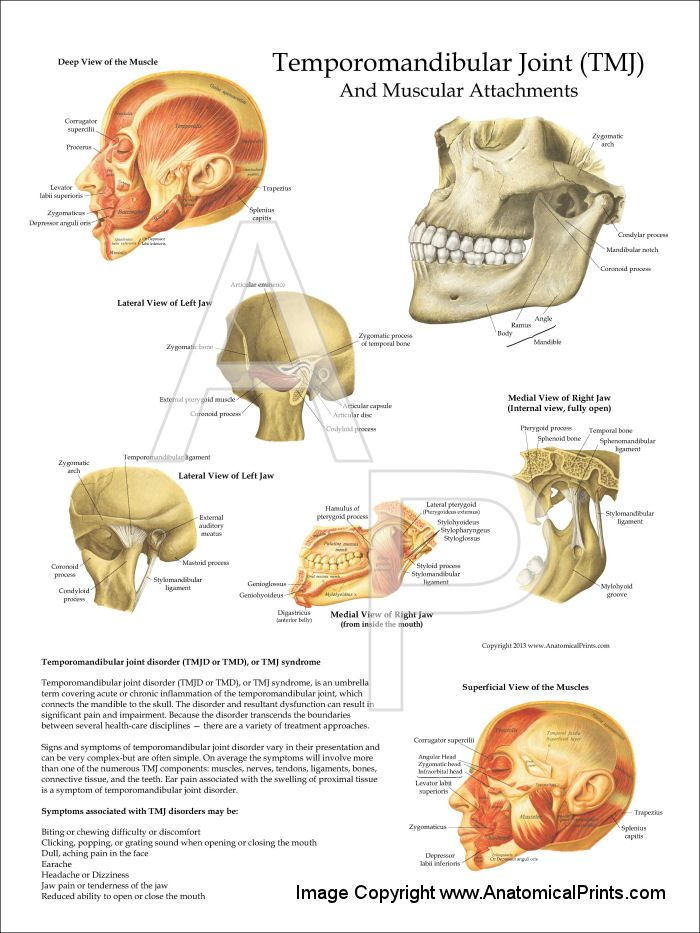 TMJ Anatomy and Muscular Attachments Poster - 18\