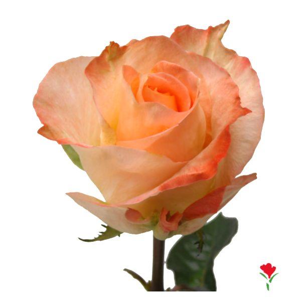Bicolor Rose 'Monina'