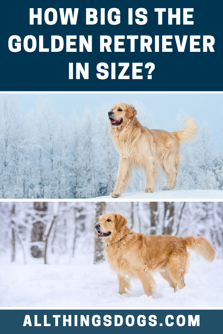 Golden Retriever Size In 2020 Large Dog Breeds Golden Retriever Medium Sized Dogs