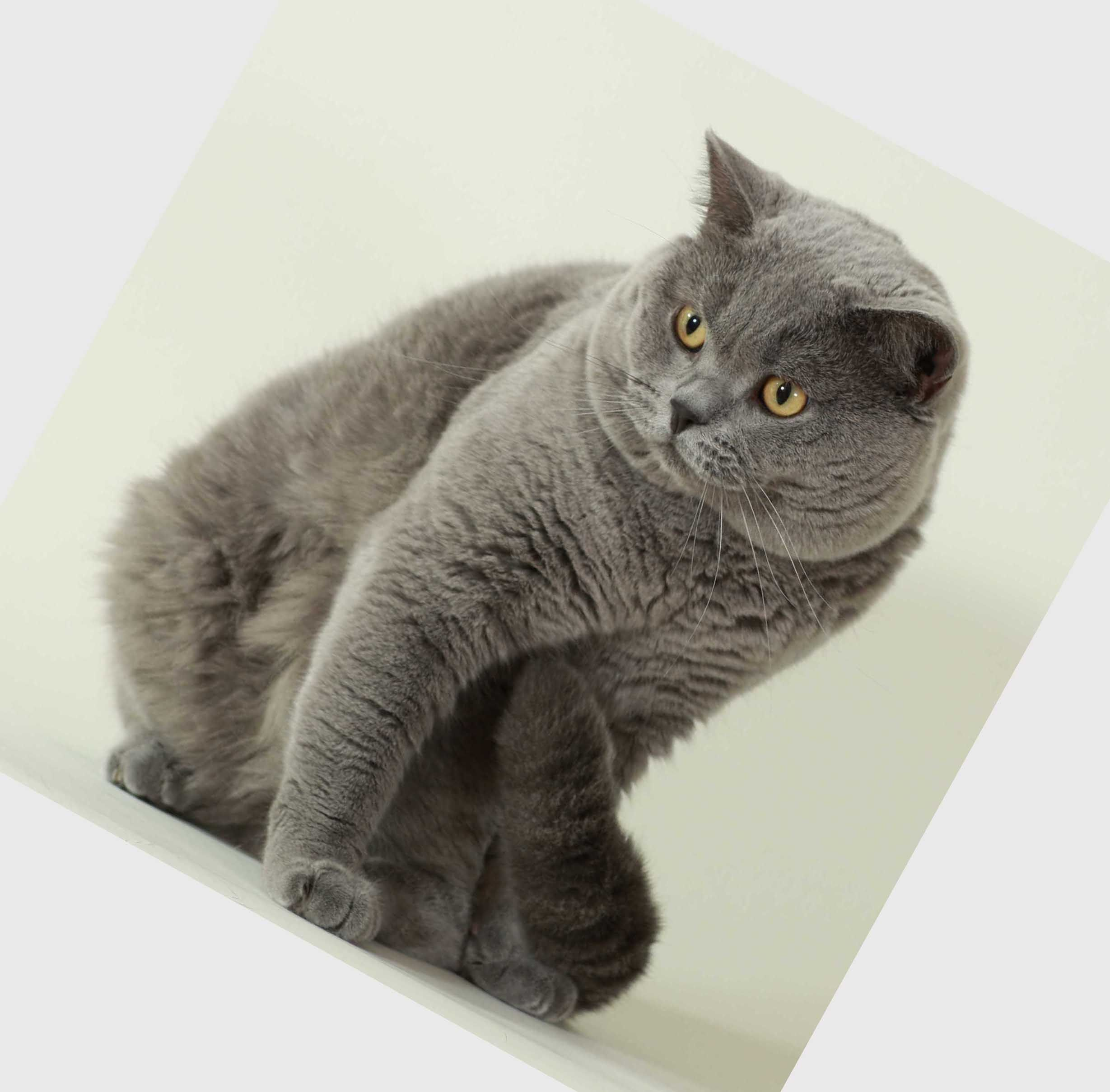 cat breeds Domestic cat breeds British Blue Shorthair