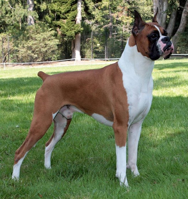 American Boxer Dog Pictures Beauty Dogs