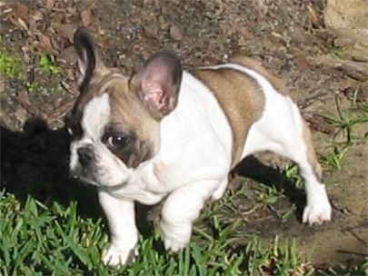 I Want One Just Like Jay S On Modernfamily French Bulldog