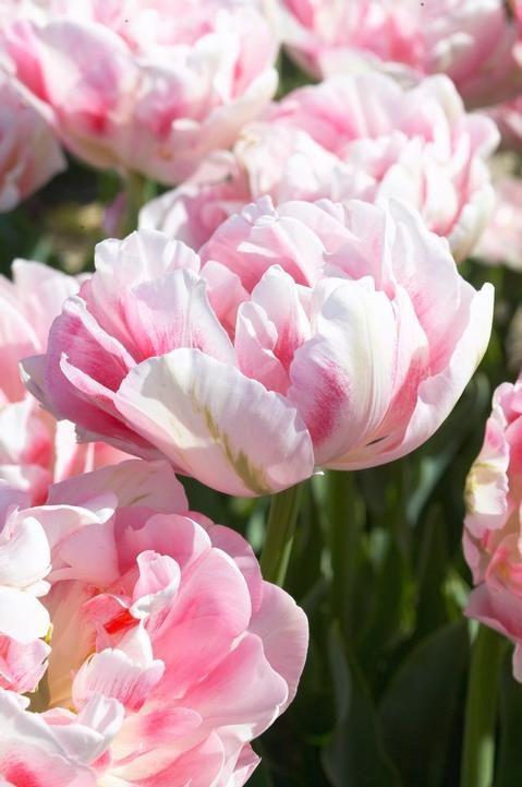 Tulip 'Finola' | pavasaris | Tulips, Spring bulbs und Garden