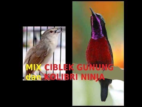 Burung Masteran Murai Batu Kenari Kacer Cucak Ijo Cendet Kolibri Mix Ciblek Gunung Dan Kolibri Ninja Burung Ninja Kenari