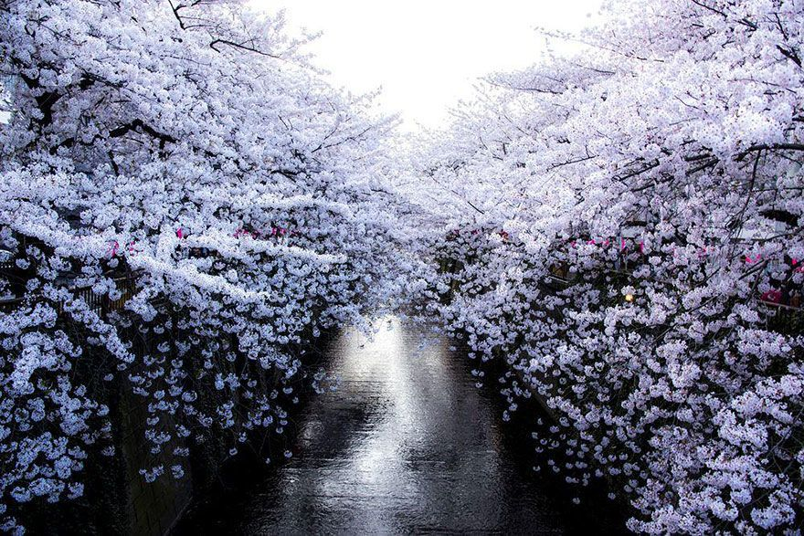 16 Magical Photographs Of Japan S Famous Cherry Blossom Season Cherry Blossom Japan Cherry Blossom Pictures Cherry Blossom