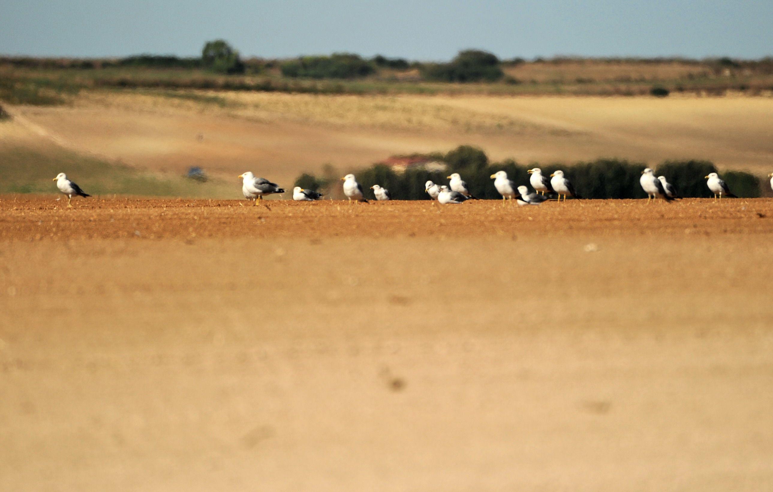 Sinis di Riola, Photo GF, Nikon D700 + 200 400 f/4 1/1600 sec. ISO360 400 mm f4 17/08/2014 07:29am #guidofrilli - Gabbiano reale - Pauli Murtas