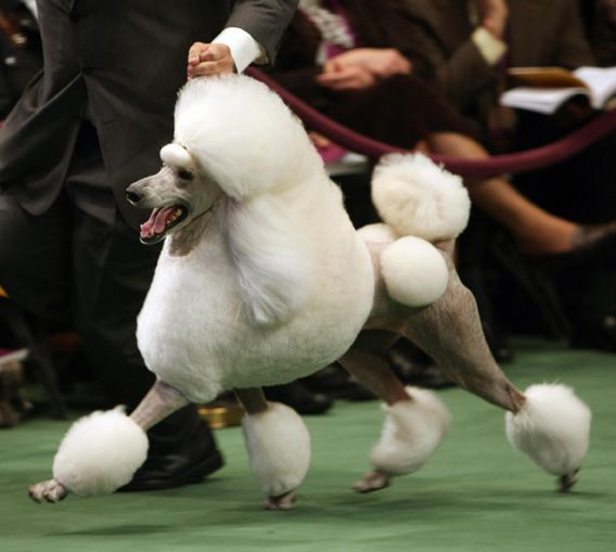 A Bettor S Guide To Westminster Who Will Win Best In Show