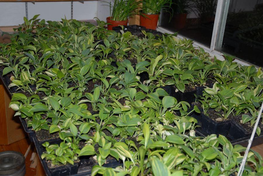 Starting Growing Hosta Seed By Bob Axmear Seedlings Garden
