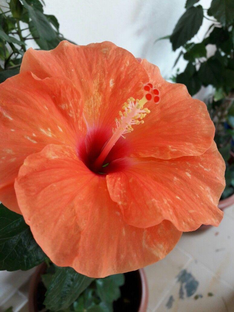 Orange Hibiscus I Love Flowerstheir Shapetheir Colorstheir