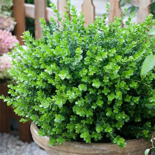 buxus sempervirens 39 suffruticosa 39 dutch box dwarf. Black Bedroom Furniture Sets. Home Design Ideas