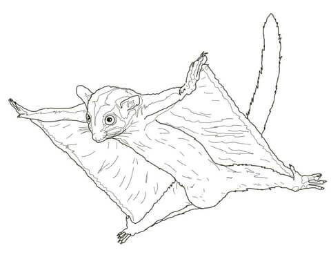 Petauro del Azúcar Planeando Dibujo para colorear | animales ...