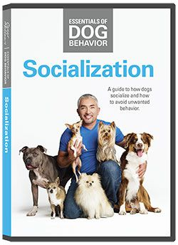 Essentials Of Dog Behavior Socialization Dvd Socializing Dogs