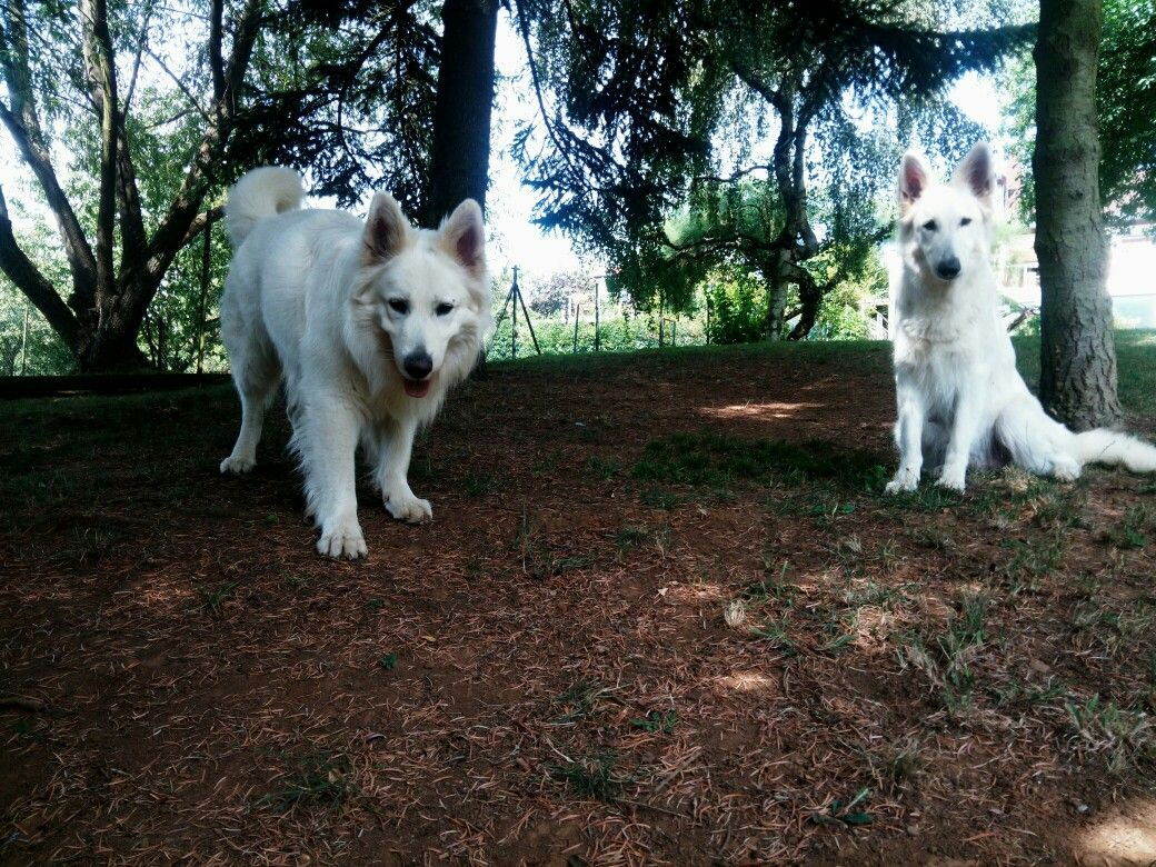 White German Shepherd Puppies Breeders For Sale Near me In France