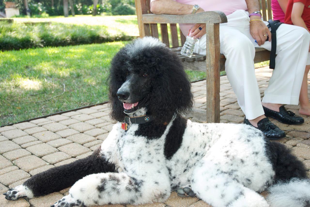 Cassie Lynn Akc Black With White Tuxedo Marking Poodle