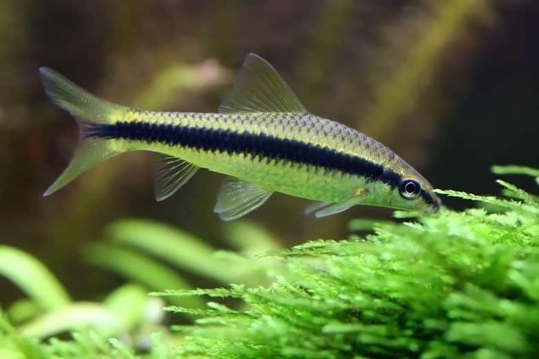 12 Best Algae Eaters For Home Aquariums Large And Small Betta Fish Tank Home Aquarium Aquarium Maintenance