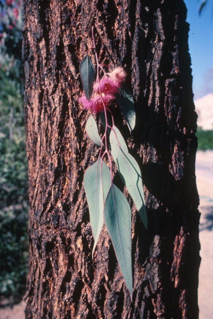 Eucalyptus Sideroxylon Rosea Plants Trees Pinterest