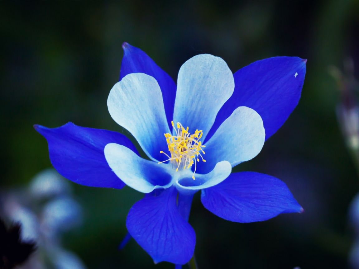 Rockymountaincolumbineplant hd wallpaper rocky mountain rockymountaincolumbineplant hd wallpaper rocky mountain columbine flower for 1152 x 864 izmirmasajfo