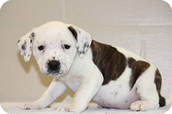 Ridgewood Ny American Bulldog Mix Meet Abraham A Puppy For Adoption Kitten Adoption Puppy Adoption Dog Adoption