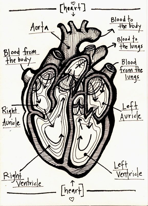 human heart- starts forming at day 16 (after conception) and is ...
