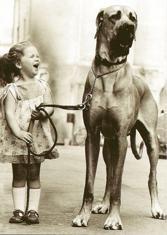 Massive Great Dane Taking The Little Girl For A Walk Big Dogs