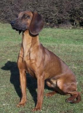 Bavarian Mountain Hound Information and Pictures, Bavarian Mountain ...