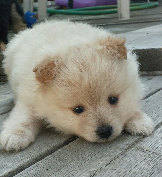 Harley 8 weeks old I miss you, Pomeranian, Dogs