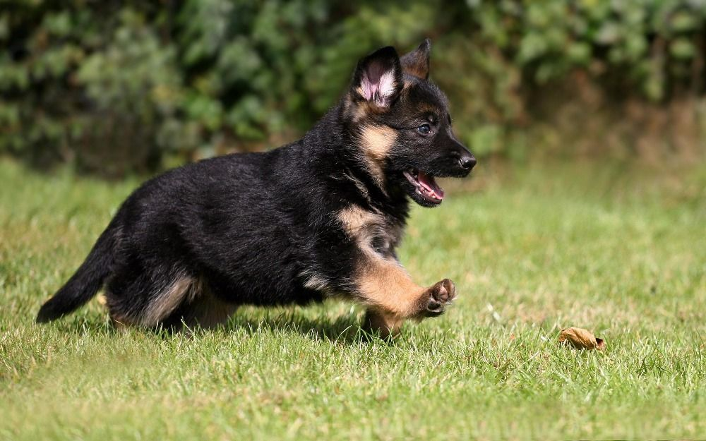 Help Us Adopt One Puppy By Joanna Sierra Gofundme With Images Shepherd Puppies German Shepherd Puppies Shepherd Dog Breeds