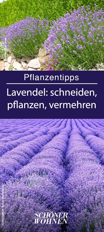 Lavendel – pflanzen, pflegen, vermehren #kräutergartendesign