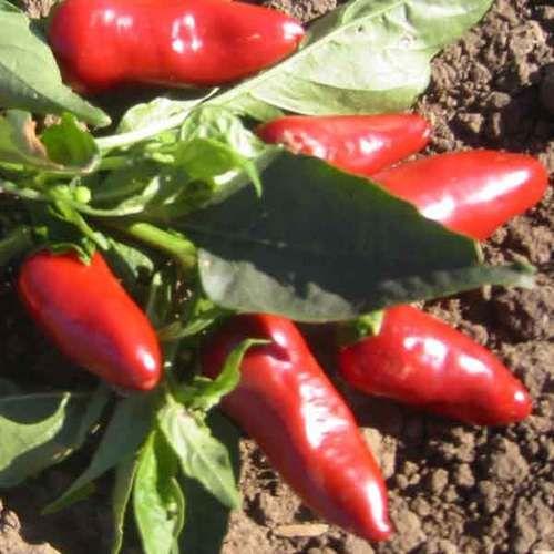 Fresno Peper 10 zaden