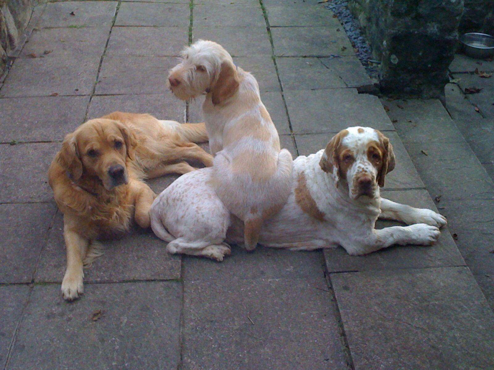As A Puppy Hector Italian Spinone Loved Using Toby Clumber