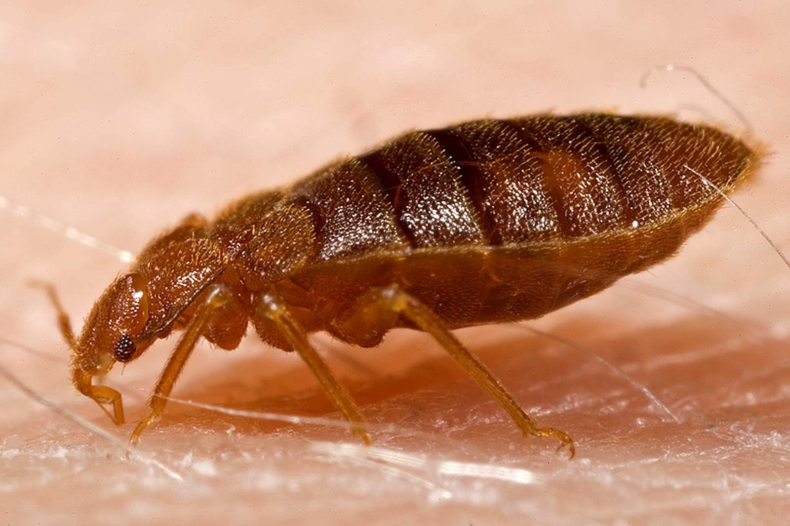 bed bugs Google Search Bed bug bites, Bed bugs, Bed