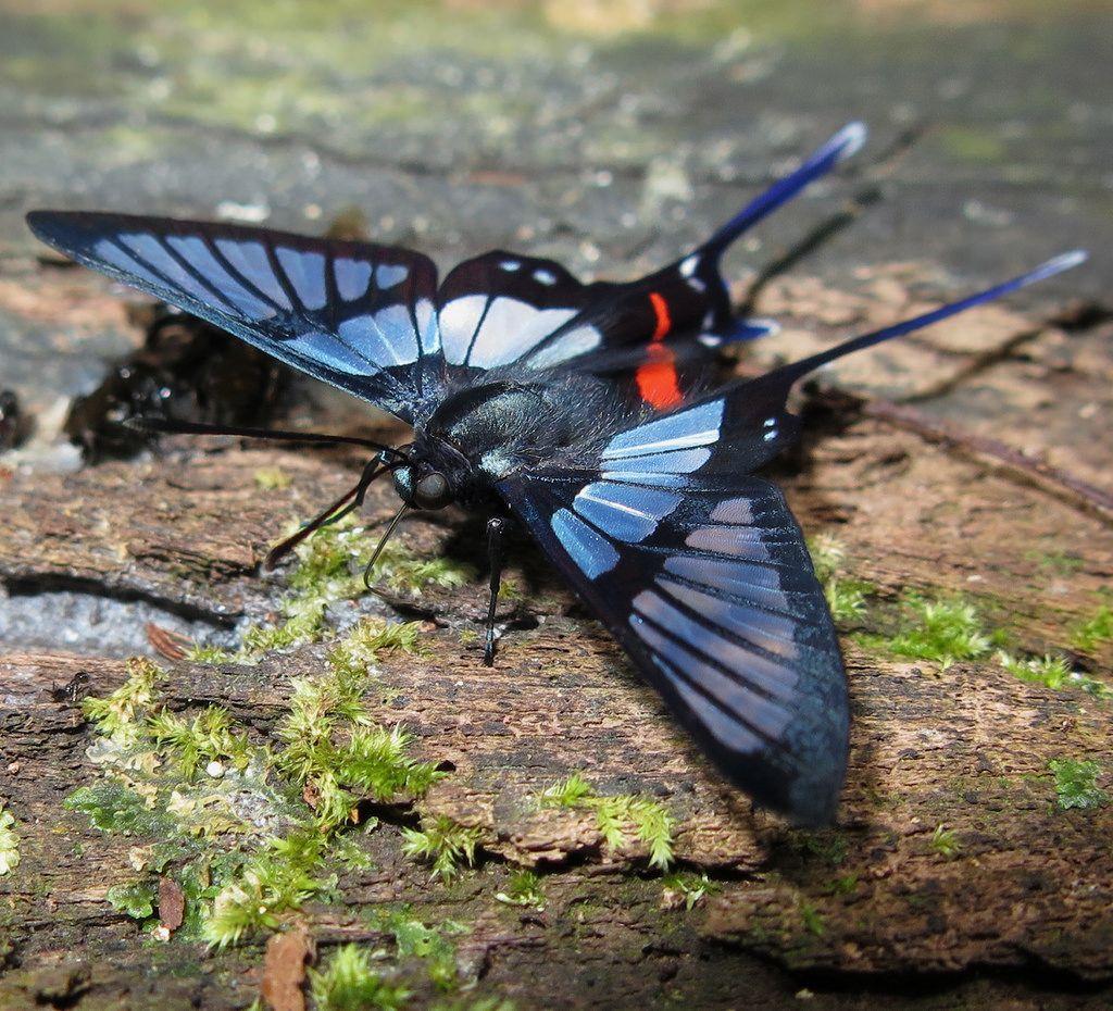 Chorinea batesii Blackbordered Clearmark Beautiful
