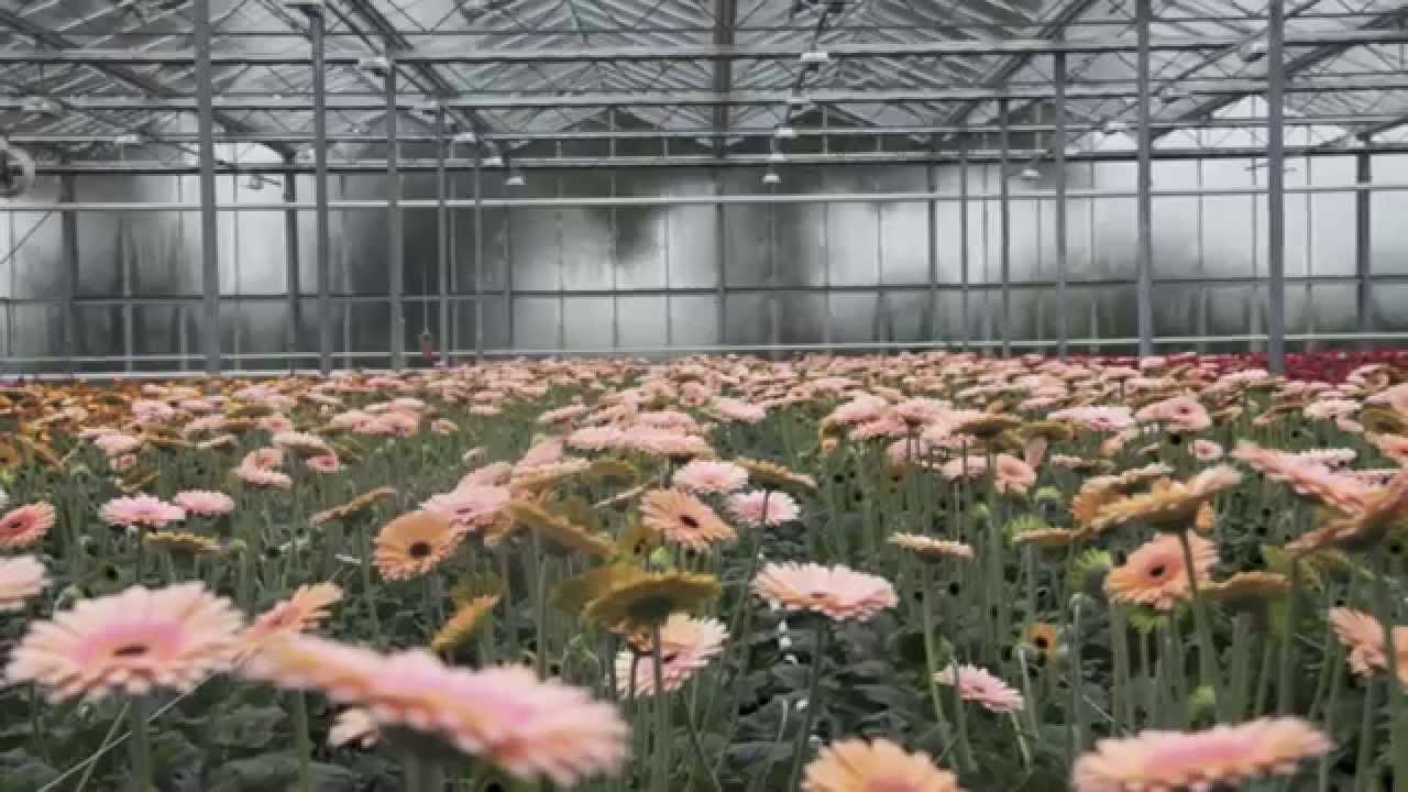 Gerbera Breeder In Holland Skyline Flowers While Our Focus Was Dutch Lily Days In Holland We Also Stopped By Some Other Fl Gerbera Flowers Flower Company