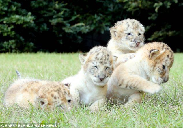 Un Tigre BLANCO y un león Blanco tuvieron bebés y son la cosa mas Linda del mundo!!   Nota Nueva