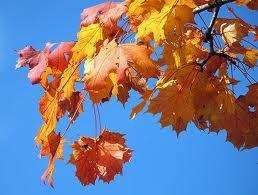 In der Herbstsonne leuchten die Blätter des Ahornbaumes, die Thema des Universal Waldquiz sind, wunderschön