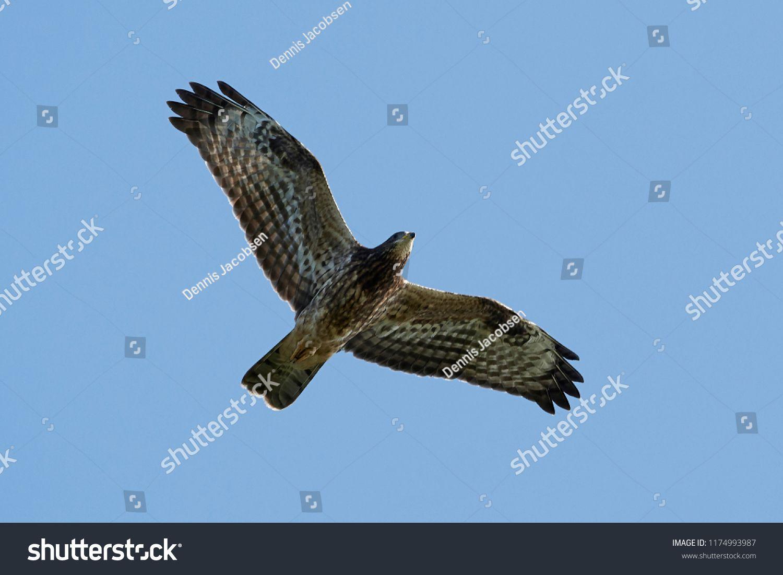 This Photo Was Sold Today Shutterstock Common Buzzard Buteo Buteo Denmark Wildlife Bird Https Www Shutterstock Com Da Image Pho Musvage Habitat Fotos