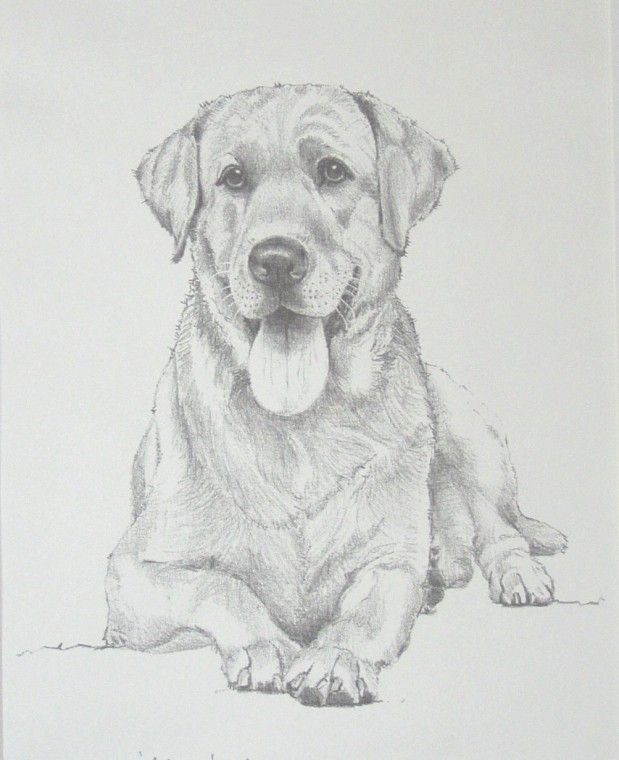 Labrador Retriever By David Smith Art In 2019 Pencil Drawings