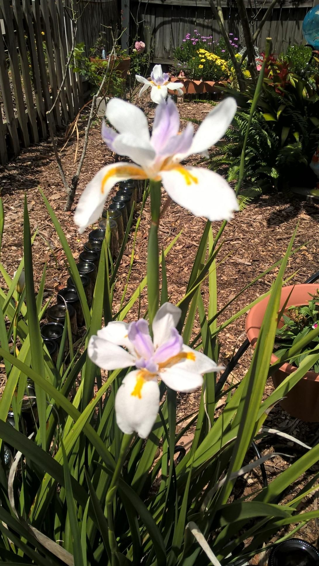 African iris large whitewaxy flowers narrow iris like leaves african iris large whitewaxy flowers narrow iris like leaves part mightylinksfo
