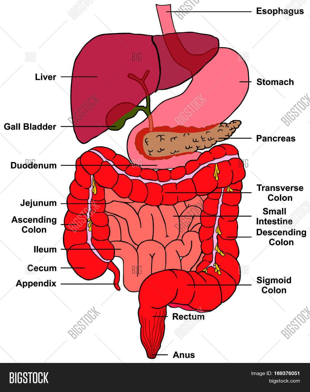 cecum location - Google Search | Liver detox, Liver health ...