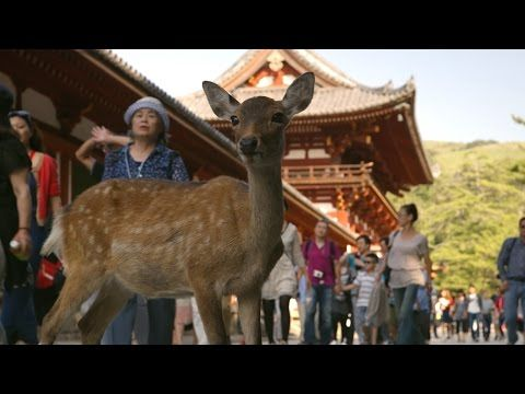 Nara Deer visit the temple - Japan: Earth's Enchanted Islands: Episode 1 Preview -