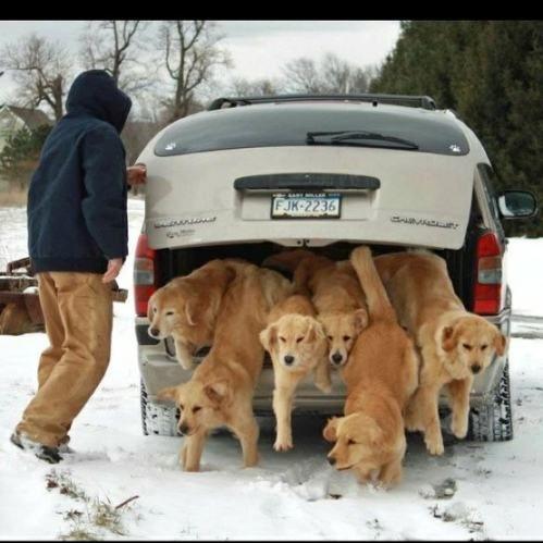 Trunk full of Goldens!